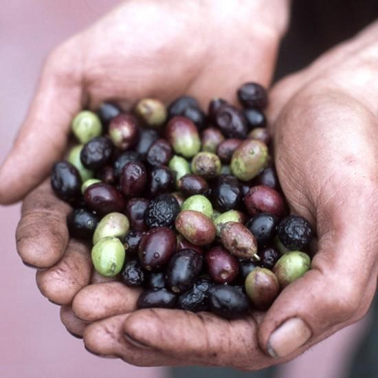 huile d'olive taggisca