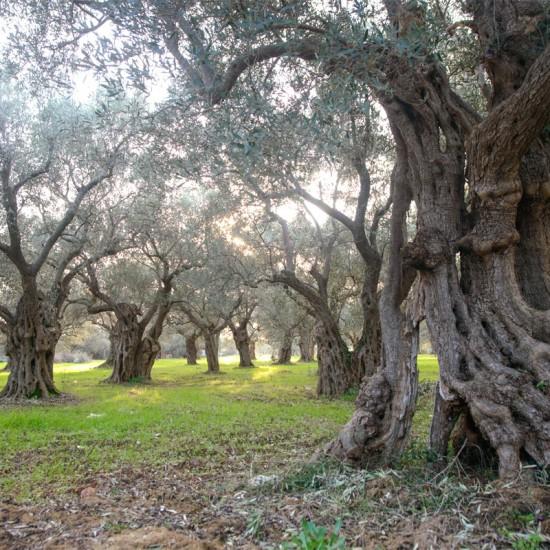 paysage d'oliviers Makri Grèce